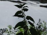BLOESEMREMEDIE BRANDNETEL, GROTE (Common Nettle)(Urtica dioica)  Inhoud 10 cc _