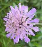 BLOESEMREMEDIE BEEMDKROON (Field Scabious)(Knautia arvensis)  Inhoud 10 cc_