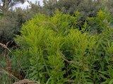 BLOESEMREMEDIE GULDENROEDE (Goldenrod)(Solidago canadensis)  Inhoud 10 cc_