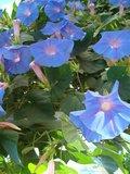 BLOESEMREMEDIE KLIMMENDE WINDE (Ipomoea purpurea)  Inhoud 10 cc_