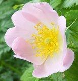 BLOESEMREMEDIE WILD ROSE (Hondsroos)(Rosa canina)  Inhoud 10 cc_