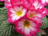 BLOESEMREMEDIE SLEUTELBLOEM (Primula sativa)  Inhoud 10 cc_