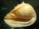 Cassis cornuta groot_