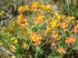 BLOESEMREMEDIE CIPRESWOLFSMELK (Euphorbia cyparissias) Inhoud 10 cc_