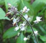 BLOESEMREMEDIE HEKSENKRUID, GROOT (Circaea lutetiana) Inhoud 10 cc_