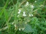 BLOESEMREMEDIE KATTENKRUID, WILD (Nepeta cataria) Inhoud 10 cc_
