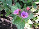 BLOESEMREMEDIE LONGKRUID, GEVLEKT (Pulmonaria officinalis) Inhoud 10 cc_
