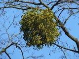 BLOESEMREMEDIE MARETAK (Mistletoe) (Viscum album) Inhoud 10 cc_