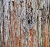 BLOESEMREMEDIE SEQUOIA (Redwood)(Sequoia sempervirens)  Inhoud 10 cc_