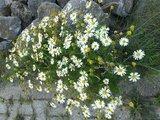 Kamille, Blauwe (bloem) 5 cc etherische olie_