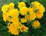 BLOESEMREMEDIE PAARDEBLOEM (Dandelion)(Taraxacum officinalis)  Inhoud 10 cc_