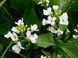 BLOESEMREMEDIE MIERIKSWORTEL (Armoracia rusticana) Inhoud 10 cc_