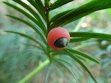 Peridoot/Taxus remedie 10 cc_