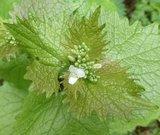 BLOESEMREMEDIE LOOK ZONDER LOOK (Alliaria petiolata)  Inhoud 10 cc_