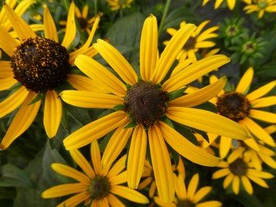 BLOESEMREMEDIE BLACK EYED SUSAN (Ruige Rudbeckia)(Rudbeckia hirta)  Inhoud 10 cc