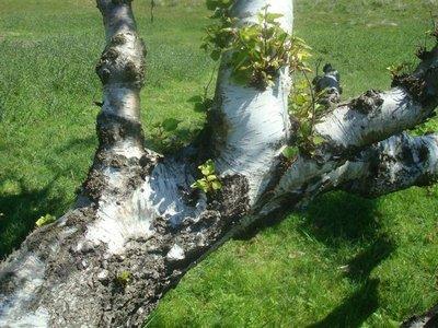 BLOESEMREMEDIE BERK, RUWE (Betula pendula)  Inhoud 10 cc