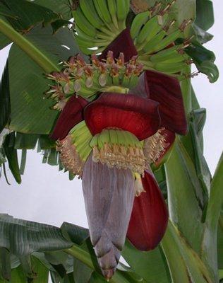 BLOESEMREMEDIE BANAAN (Musa acuminata)  Inhoud 10 cc