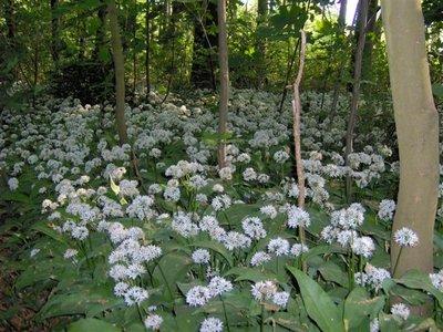 BLOESEMREMEDIE DASLOOK (Allium ursinum)  Inhoud 10 cc