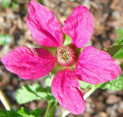 BLOESEMREMEDIE FRAMBOOS (Rubus idaeus)  Inhoud 10 cc
