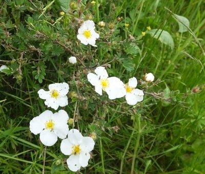 BLOESEMREMEDIE GANZERIK (Tundra Rose)(Potentilla fruticosa)  Inhoud 10 cc