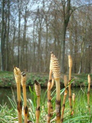 BLOESEMREMEDIE HEERMOES (Horsetail)(Equisetum arvense)  Inhoud 10 cc
