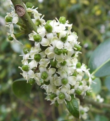 BLOESEMREMEDIE HOLLY (Hulst)(Ilex aquifolium) Inhoud 10 cc