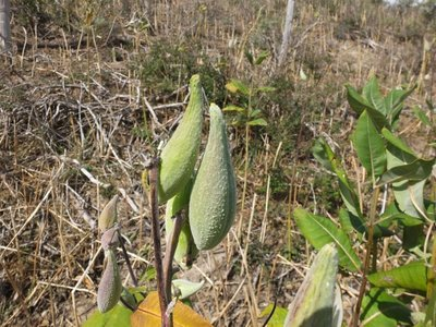 BLOESEMREMEDIE MILKWEED  (Zijdeplant)(Asclepias cordifolia)   Inhoud 10 cc