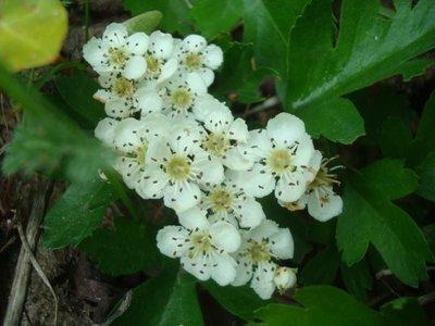 BLOESEMREMEDIE MEIDOORN (Hartvaleriaan) (Crataegus monogyna)   Inhoud 10 cc