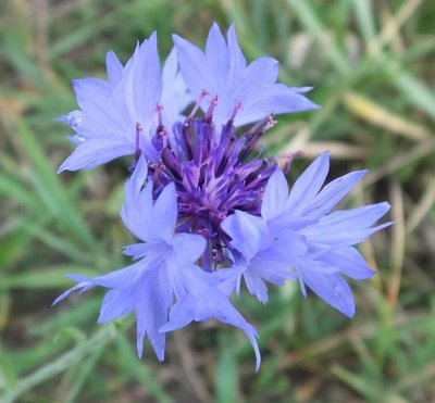 BLOESEMREMEDIE KORENBLOEM (Corn Flower)(Centaurea cyanus)  Inhoud 10 cc