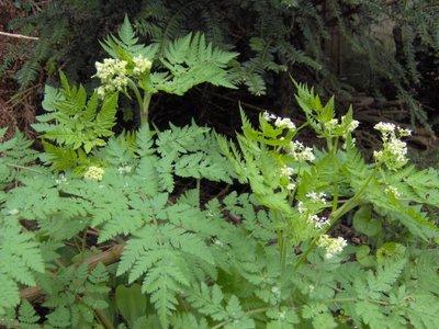 BLOESEMREMEDIE KERVEL, ROOMSE (Myrrhis odorata)  Inhoud 10 cc