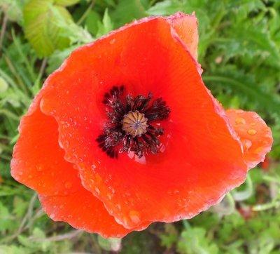 BLOESEMREMEDIE KLAPROOS (Red Poppy)(Papaver rhoeas)  Inhoud 10 cc