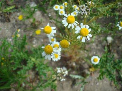 BLOESEMREMEDIE KAMILLE, ECHTE (Matricaria chamomilla)  Inhoud 10 cc