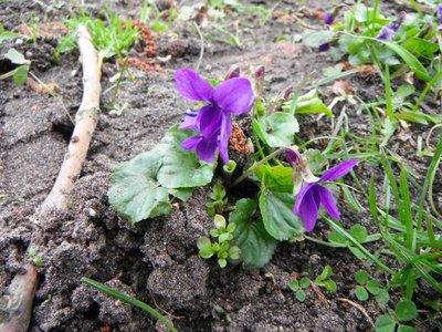 BLOESEMREMEDIE MAARTS VIOOLTJE (Violet)(Viola odorata)  Inhoud 10 cc