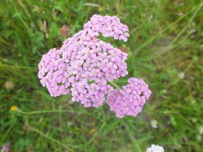 BLOESEMREMEDIE PINK YARROW (Roze Duizendblad)(Achillea millefolium)  Inhoud 10 cc
