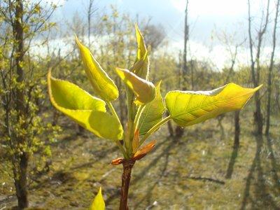 BLOESEMREMEDIE POPULIER, BALSEM (Balsam Poplar)(Populus candicans)  Inhoud 10 cc