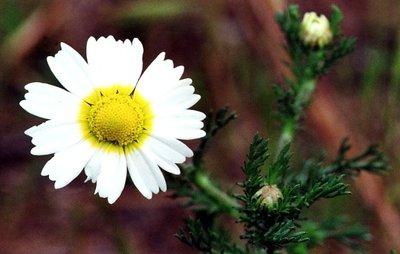Kamille, Wilde (bloem) 5 cc etherische olie