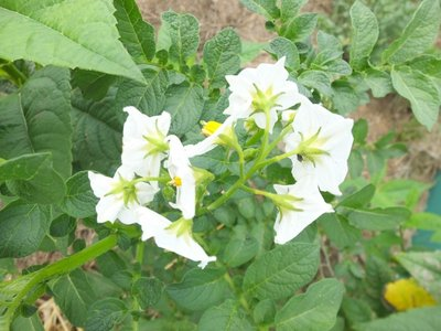 BLOESEMREMEDIE AARDAPPEL (Potato) (Solanum tuberosum)  Inhoud 10 cc