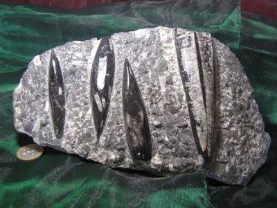 Orthoceras (fossiele inktvisachtige) ca 380 miljoen jaar oud. Marokko