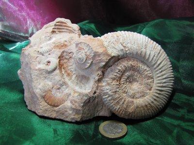 Ammoniet ca 65 miljoen jaar oud. Frankrijk