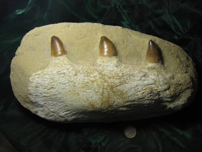 Mosasaurus kaak met tanden  ca 68 miljoen jaar oud