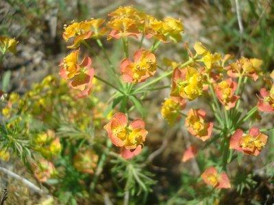 BLOESEMREMEDIE CIPRESWOLFSMELK (Euphorbia cyparissias) Inhoud 10 cc