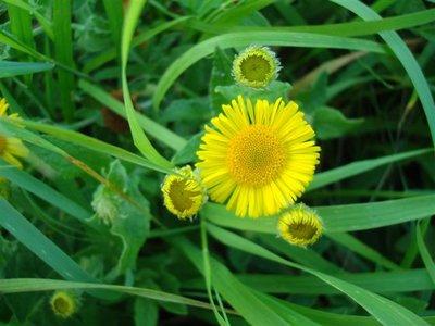 BLOESEMREMEDIE HEELBLAADJES (Pulicaria dysenterica) Inhoud 10 cc