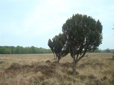 BLOESEMREMEDIE JENEVERBES (Juniperus communis) Inhoud 10 cc