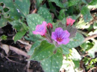 BLOESEMREMEDIE LONGKRUID, GEVLEKT (Pulmonaria officinalis) Inhoud 10 cc