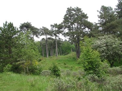 Sandalhout (hout) 10 cc etherische olie
