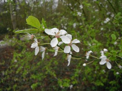 BLOESEMREMEDIE CHERRY PLUM (Kerspruim)(Prunus cerasifera)  Inhoud 10 cc