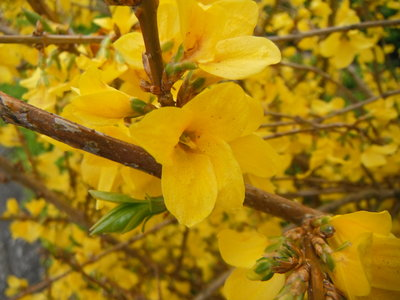 BLOESEMREMEDIE FORSYTHIA (Forsythia suspensa)  Inhoud 10 cc