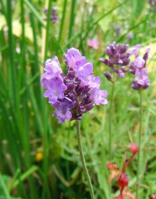 Lavendel 100 cc met de hand gemaakte natuurlijke massage olie