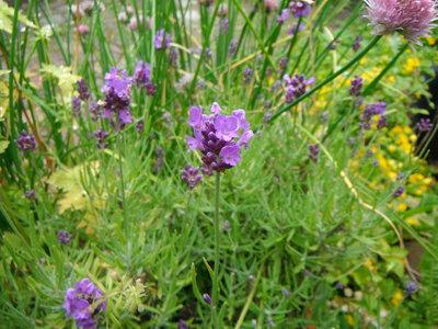 Lavendel Mt. Blanc (bloem/plant) 10 cc