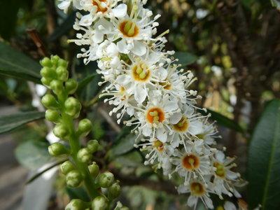 BLOESEMREMEDIE LAURIERKERS (Prunus laurocerasus) Inhoud 10 cc